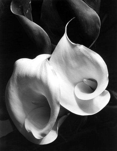 Foto Imogen Cunningham,  Two Callas, um 1925