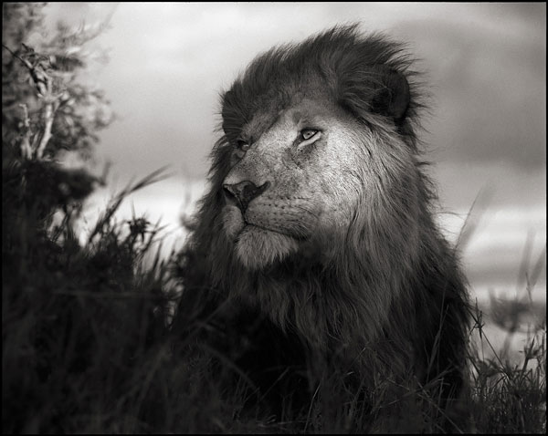 Foto Nick Brandt, Lion in Shaft of Light, Maasai Mara, 2012