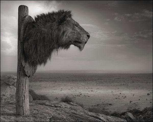 Foto Nick Brandt, Lion Trophy, Chyulu Hills, Kenya, 2012