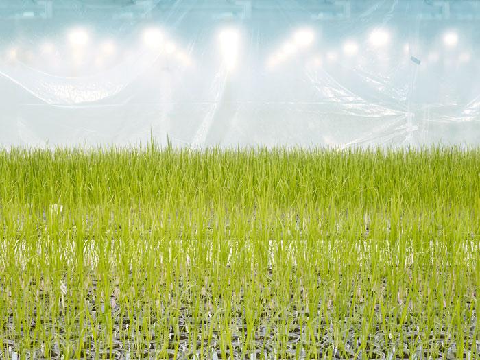 Foto Henrik Spohler, Anlage zur Entwicklung gentechnisch veränderter Reis-Sorten, Belgien, 2011