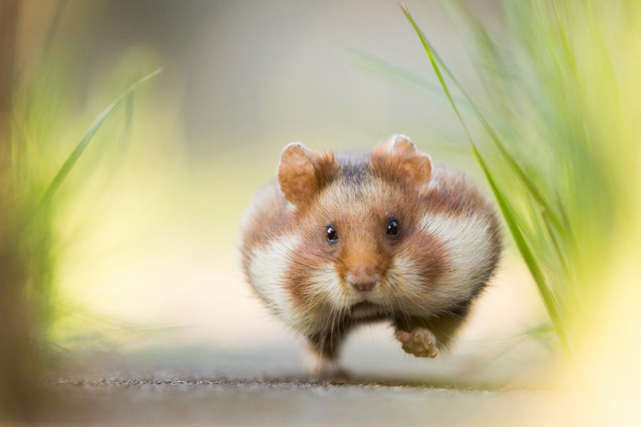 Lobende Erwähnung Kategorie Säugetiere: Christoph Kaula - Hastiger Hamster