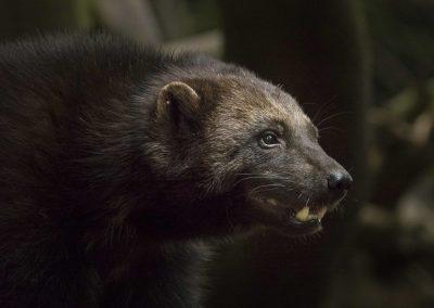 Bärenmarder (Vielfraß)