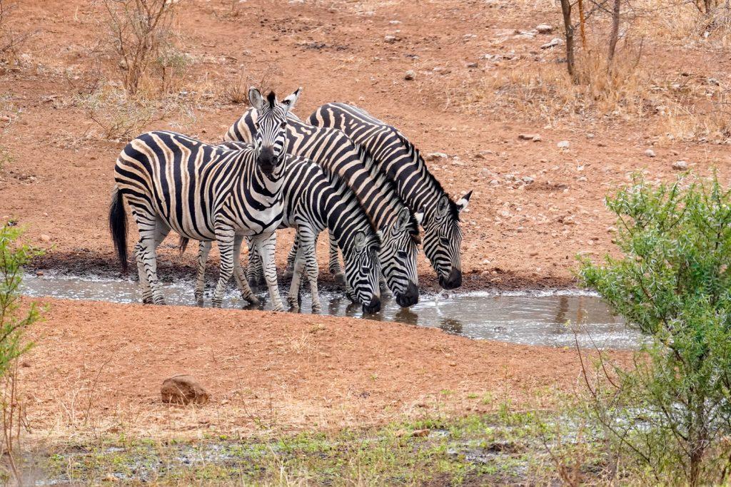 Zebra-Quartett